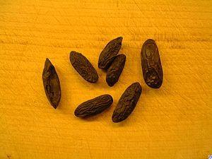 Tonkabohne - eine Hülsenfrucht