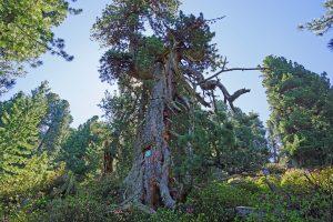 Alter Zirbenbaum in den Alpen
